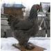 куры циплята утки